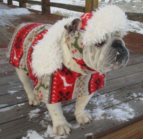 bulldog-staying-warm