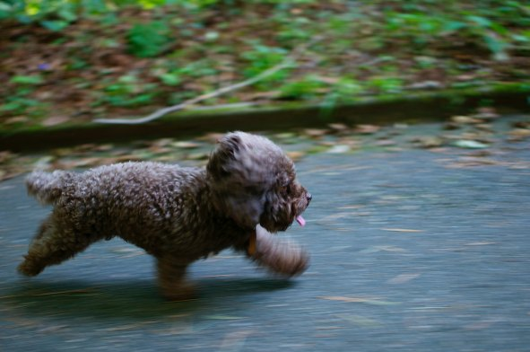 brown dog running in woods