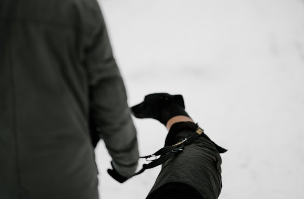 black dog in harness being walked